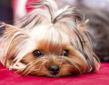 Puppy yorkshire terrier on the background