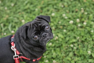 Pug dog in a field