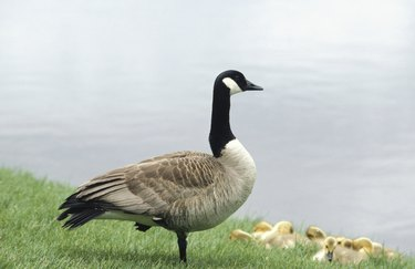 Canadian goose with goslings by river, Minneapolis, Minnesota, USA