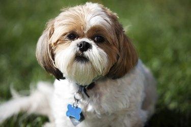 Shih Tzu Pet Dog Little Animal in Grass