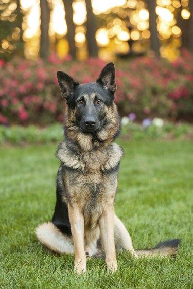 Young German Shepherd sitting outside