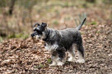 Miniature Schnauzer dog on leafy ground