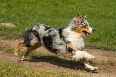Australian Shepherd dog in outdoor setting