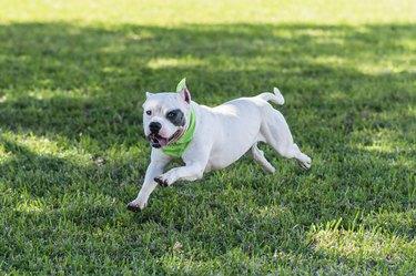 White pit bull terrier running in the grass