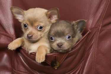 A brown and a lilac Chihuahua in a coat pocket