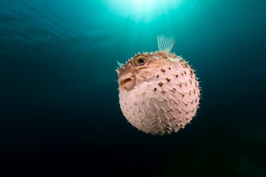 Yellowspotted burrfish using its defense system.