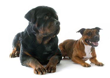 Staffordshire bull terrierand rottweiler  in front of white background