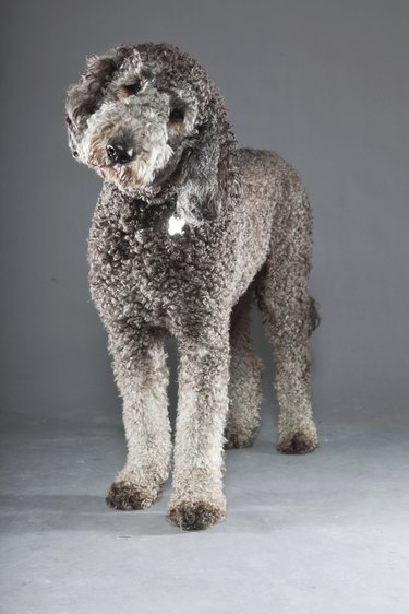 Grey labradoodle against grey background.
