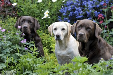 labradors in the flowers