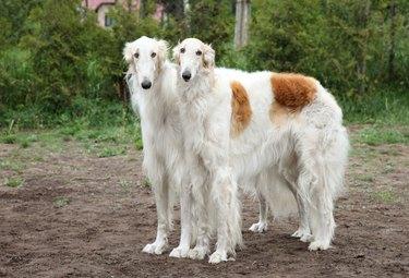 Borzoi hounds