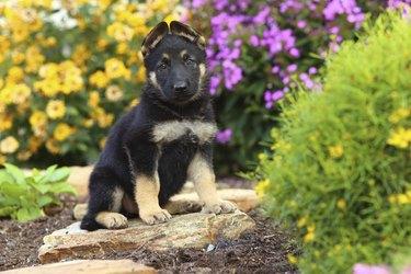 German Shepherd puppy sitting on stone pathway