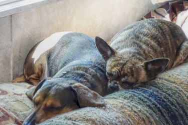 Two brindle Chihuahuas sleeping together.