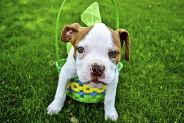 Pit bull puppy in an Easter basket: