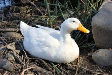 American Pekin duck sitting on twigs