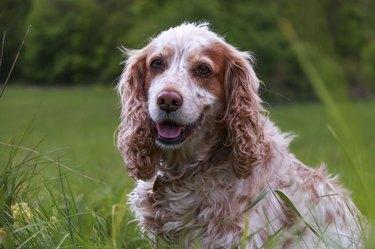 Spaniel in the grass