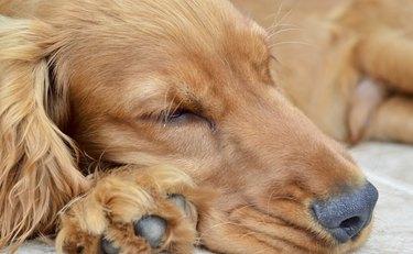 Cocker spaniel asleep