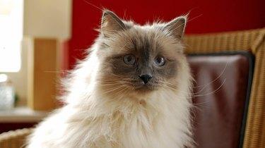Nice Ragdoll cat
