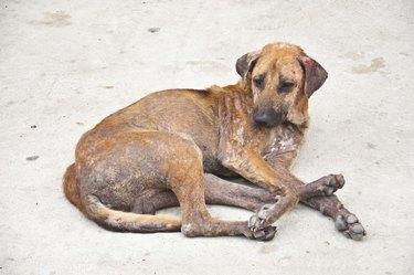 Skin disease dog