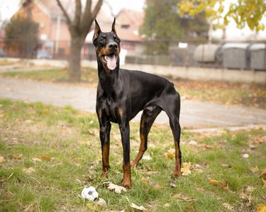portrait of male doberman with ball