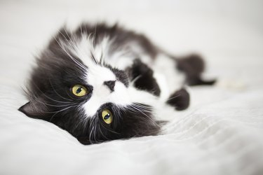 Beautiful cat lying on bed