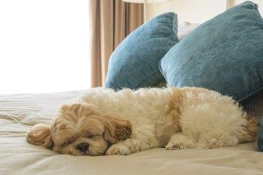 dog is sleeping on leather sofa