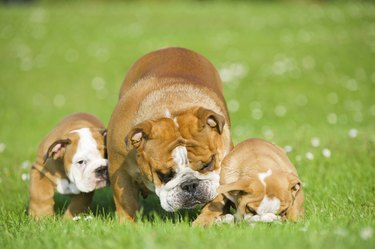 Beautiful Bulldog mother with her children puppies