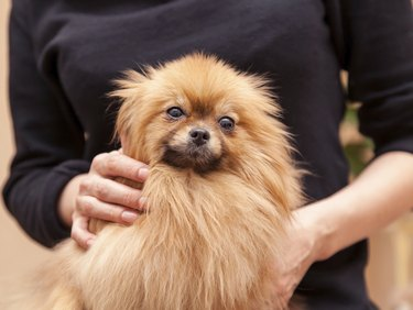 funny fluffy Pomeranian