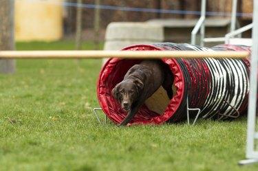 Brown labrador at agility course