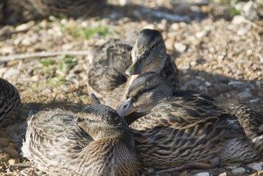 Female mallard ducks resting