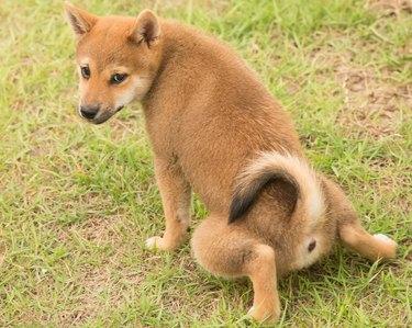 Shiba Inu potty training