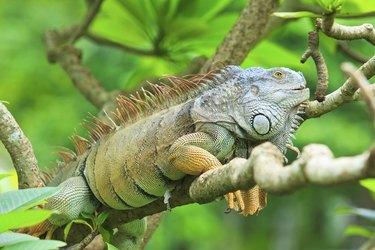 Green iguana climb on the branch
