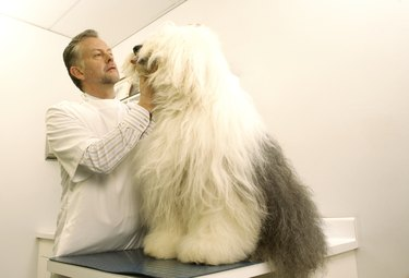 Mature male vet examining old English sheepdog in surgery
