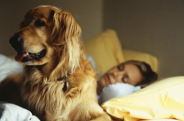 Golden retriever in bed with sleeping woman