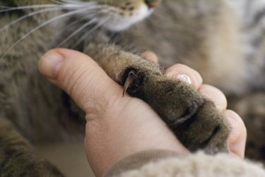 Human's hand holding cat paw with claw