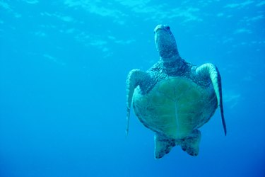 Green Sea Turtle, Maui, Hawaii