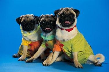 three pug varieties in colored jackets