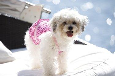 Maltese dog on cushion
