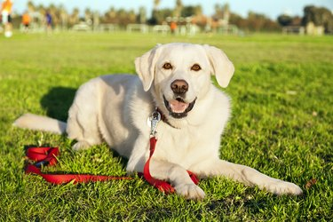 Mixed Labrador Dog Portrait at the Park