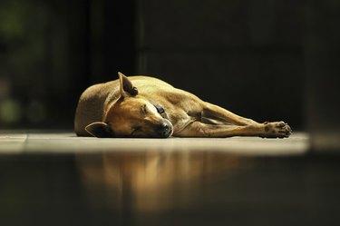 brown Thai dog sleeps under sunlight