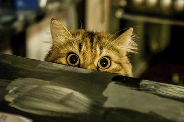 Cat peeking up over barrier