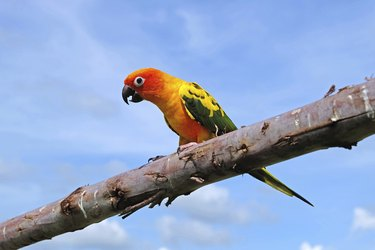 Lovely Sun Conure bird