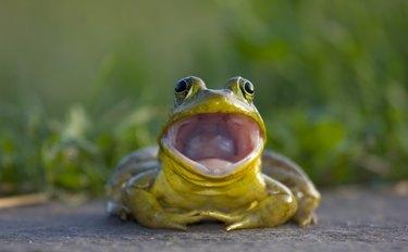 Bullfrog Potratit