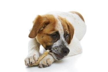 Dog eating rawhide treat