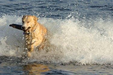 Dog retrieves a stick