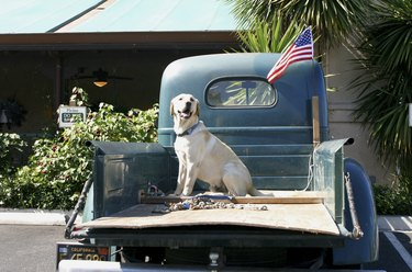 Dog sitting at the back of a pickup truck