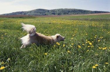 Dog running through a grassy field