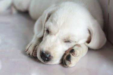 white dog sleeping