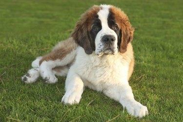 A Cute Saint Bernard Purebred Puppy