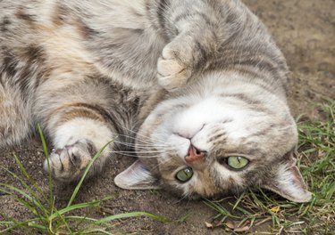 Grey, Ginger and White Tabby Cat Rolling in Dirt and Grass