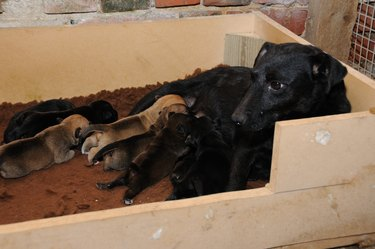 Working terrier with her litter of puppies